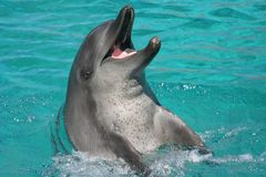 Dolphin playful. Dolphin playing in clear blue water Royalty Free Stock Photography