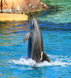 Dolphin Playing. A dolphin moving backwards in the water showing off its tricks Stock Photography