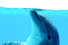 Dolphin Playing. Ocean Life - Dolphin playing in the blue water royalty free stock photography