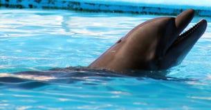 Dolphin playing at aquarium in baja california Los Cabos delfin nariz de botella royalty free stock photography