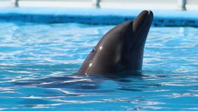 Dolphin playing at aquarium in baja california Los Cabos delfin nariz de botella royalty free stock photo