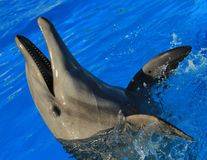 Dolphin playing at aquarium in baja california Los Cabos delfin nariz de botella. Gentle animal royalty free stock image