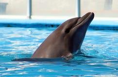 Dolphin playing at aquarium in baja california Los Cabos delfin nariz de botella Royalty Free Stock Image