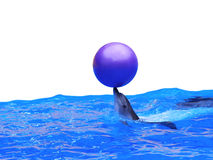 Dolphin playing with ball. In blue water Royalty Free Stock Photo