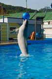 Dolphin playing with ball Royalty Free Stock Photography