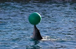 Dolphin playing with a ball Royalty Free Stock Photography