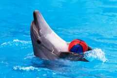 Dolphin playing with ball in blue water. Close view of dolphin playing with ball in blue water royalty free stock image