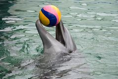 Dolphin playing with ball stock photography