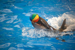 Dolphin playing with a ball. Dolphinarium Phuket. Thailand royalty free stock photos