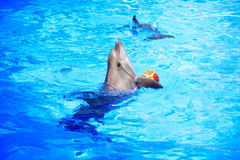 Dolphin Playing With Ball Royalty Free Stock Images