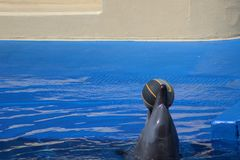 Dolphin playing with ball. Dolphin playing with a ball in a pool royalty free stock photo