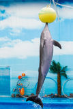 Dolphin playing with ball in water Stock Image