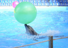 Dolphin playing in dolphinarium. Stock Photography