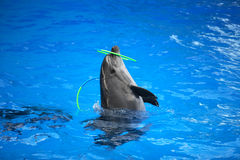 Dolphin Playing With Hoop Royalty Free Stock Photo