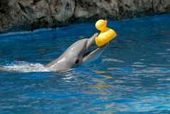 Dolphin playing with rubber duck Royalty Free Stock Image