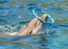 Dolphin playing. Dolphin smiling and playing with plastic circle near beach. Funny and friendly animal. Greeting from tropical paradise Royalty Free Stock Photography