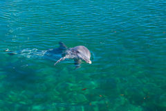 A dolphin playing in the water. Royalty Free Stock Image