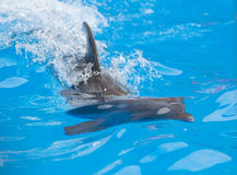 Dolphin playing in water Stock Photos