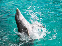 Dolphin playing in the water Stock Photo