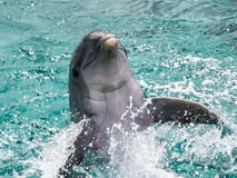Dolphin playing in the water Royalty Free Stock Images
