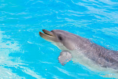 A dolphin playing in water park Stock Photo