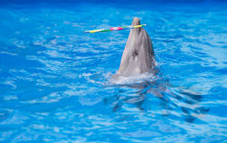 Dolphin playing in water park Royalty Free Stock Photo