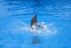 Dolphin playing in the water Stock Images