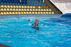Dolphin plays with a ball. Dolphin plays two balls in the pool. Keep on the head and between the fins Royalty Free Stock Photo