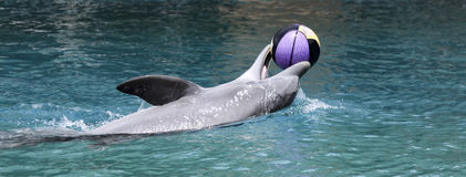 A Dolphin Plays with a  Basketball at the Surface Stock Images