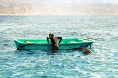 The dolphin plays with a diver near a boat in the Red Sea Stock Photo