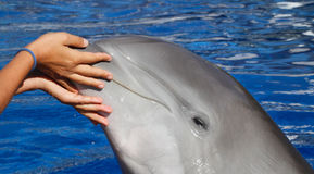 Dolphin playtime Royalty Free Stock Photos