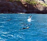Dolphin Pod Stock Image