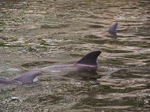 Dolphin Pod Stock Photo