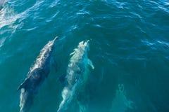 Dolphin pod, Kaikoura, New Zealand royalty free stock images