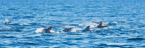 Dolphin pod, Kaikoura, New Zealand. Dolphin pod from travel boat, Kaikoura, New Zealand royalty free stock images