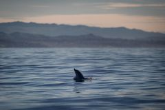 Dolphin poking head out of the water in California royalty free stock photos