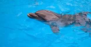 Dolphin in a pool Royalty Free Stock Images