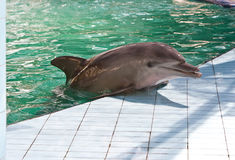 Dolphin in pool Stock Photography