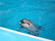 Dolphin in pool. The dolphin in water pool Royalty Free Stock Photo