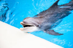 Dolphin in the pool. Happy dolphin smile joy water Royalty Free Stock Images