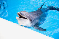 Dolphin in the pool. Happy dolphin smile joy water stock photo