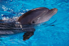 Dolphin in Pool in Las Vegas Stock Photography