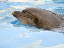 Dolphin in the pool. Dolphin swims in the pool in blue water royalty free stock images
