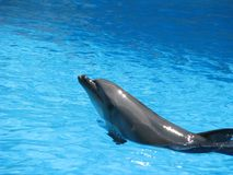 Dolphin in the pool. Theatrical performance of animals in the water. Joyful and festive mood. Stock Photo