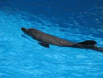 Dolphin in the pool. Theatrical performance of animals in the water. Joyful and festive mood. Royalty Free Stock Photo