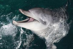 Dolphin Portrait Stock Photography