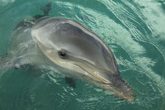 Dolphin portrait. Detailed close-up of a dolphin's head Royalty Free Stock Photography