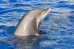 Dolphin. Portrait of a bottlenose dolphin Royalty Free Stock Photos