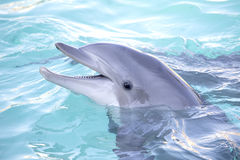 Dolphin. Portrait of a bottlenose dolphin Stock Photos