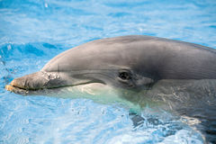 Dolphin portrait looking at you Stock Image